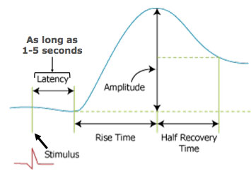 does the latent period change with different stimulus voltages During the latent period, the stimulus applied to a muscle excites chemical changes which result in contraction but if the stimulus be very small, the chemical changes may be so slight that contraction does not occur if the stimulus, however, be repeated several times, the changes which it induces in.